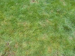 Drought Tolerant Grass